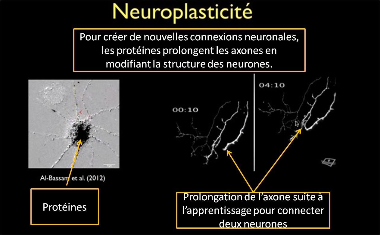 Comprendre le cerveau pour enseigner - la neuroplasticité